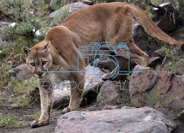 Tonka, a male mountain lion, plays in his enclosure at the Animal Ark in north Reno, Nev, on Tuesday, May 17, 2011. .Photo by Cathleen Allison