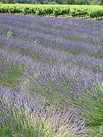 Lavender fields & vineyards, Provence, France