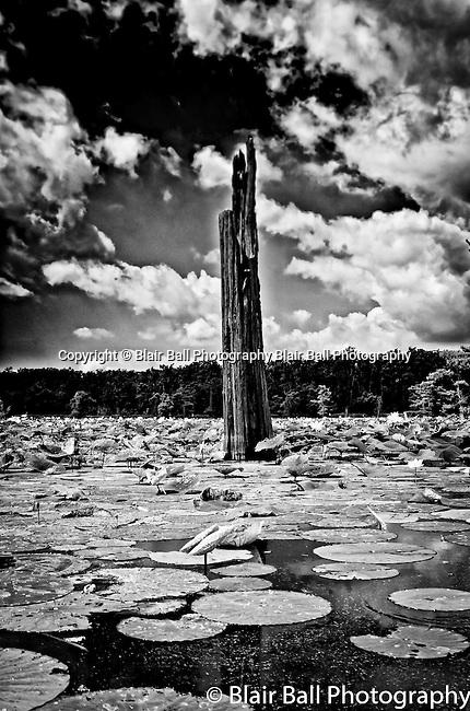 Dead cypress on Reelfoot Reel Foot Lake