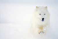 Arctic Wolf or Arctic Gray Wolf (Canis lupus) running in winter snow.