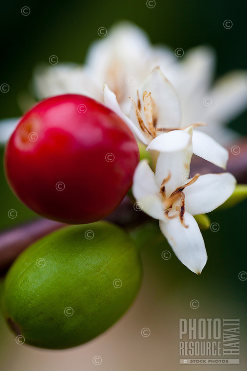 A flowering coffee plant with green and ripe cherries at a Kona coffee plantation on the Big Island