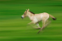 Przewalski's Horse (Equus przewalskii), young running, Switzerland