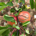 An apricot with badly split skin, usually caused by irregular watering, particularly when a drought followed by sudden rainfall causes the fruit to expand quickly. The cracks in the skin may scab over or they may rot.