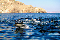 Long-beaked Common Dolphin pod, Delphinus capensis, traveling in the upper Gulf of california, Sea of Cortez, Mexico, Pacific Ocean