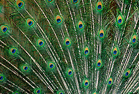 569509015 detailed image of the tail feathers of a blue peafowl or peacock pavo cristatus spread in a breeding display
