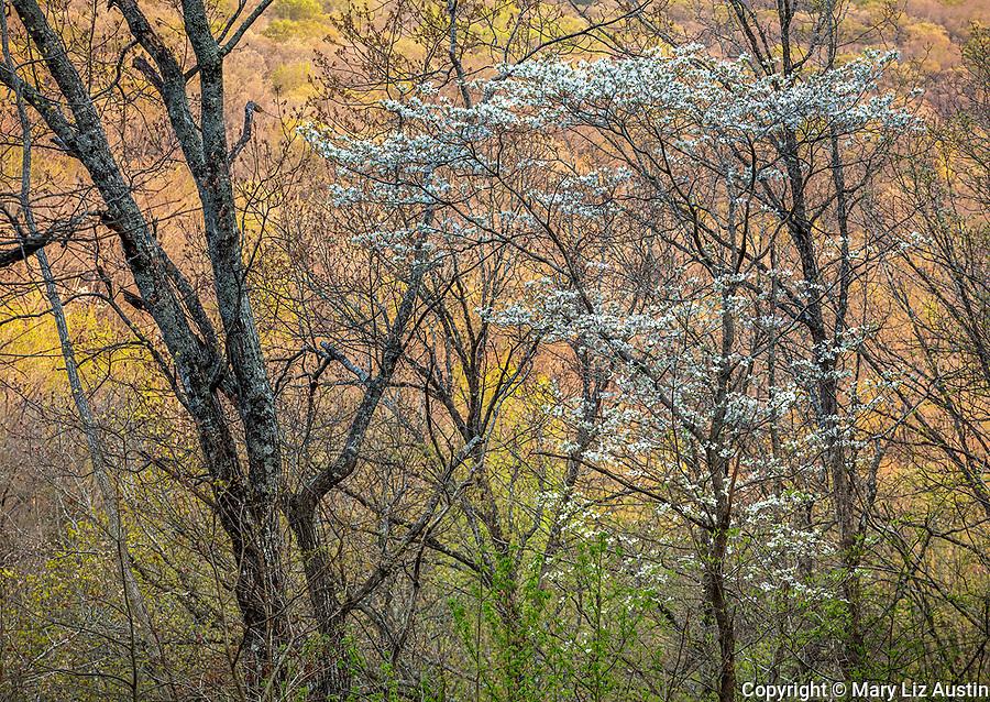 Devil's Den State Park, AR: Flowering dogwood (Cornus florida) in spring forest with sunset light on distant forested hills