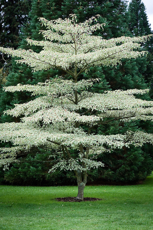 Cornus controversa 'Variegata', mid September. A variegated dogwood, sometimes known as the wedding-cake tree.