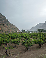 Vineyards near the Grand Valley Diversion Dam along the Colorado River near Grand Junction, Colorado, Sunday, July 5, 2015. The dam is a 14-foot (4.3 m) high, 546-foot (166 m) long concrete roller dam with six gates, which were the first and largest of their kind to be installed in the United States. The dam is primarily used for irrigation for the Grand Valley. <br /> <br /> Photo by Matt Nager