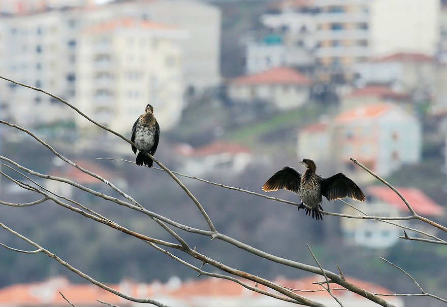 Pygmy Cormorant (Phalacrocorax pygmeus) at the Lake Kastoria, Macedonia, Greece. February 2009