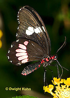 LE45-546z  Transandean Cattleheart  Swallowtail, female, Parides iphidamas, Central America