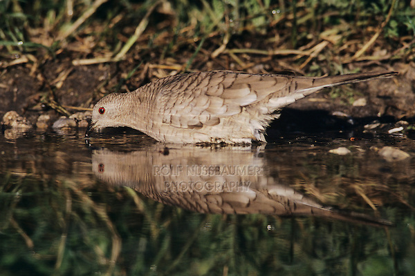 Inca Dove, Columbina inca,adult drinking, Lake Corpus Christi, Texas, USA, May 2003