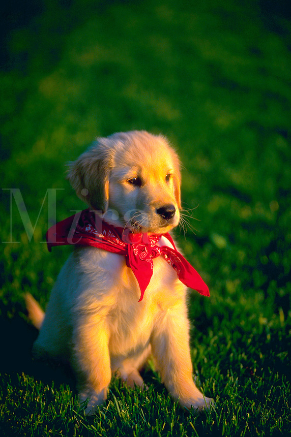 Golden retriever puppy sitting in the grass..