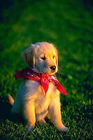 Golden retriever puppy sitting in the grass..
