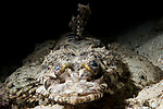 Marovo Lagoon, Solomon Islands; a head on view of a crocodile flathead fish laying on the sandy bottom alongside the coral reef