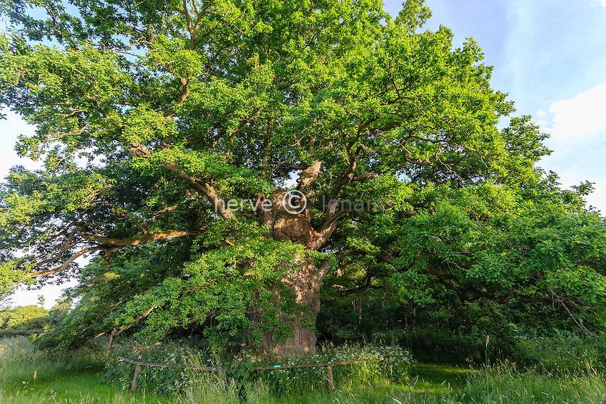 France, Orne (61), Pervenchère, chêne de la Lambonnière, arbre remarquable // France, Orne, Pervenchere, oak of the Lambonniere