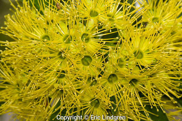 Bright yellow flowers of a Golden Penda tree in a suburban garden. Note the fruit fly near the top. Prolific nectar production attracts a variety of honeyeaters (Meliphagidae) and lorikeets (Psittacidae).  //  Golden Penda tree Myrtaceae: Xanthostemon chrysanthus.  Height to 40m, canopy to 20m in the wild; height 12m in cultivation; flowers in summer and autumn. Found in the wild in rainforests along the eastern shores of Cape York in Australia.  //