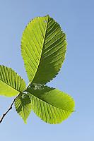 Bergulme, Berg-Ulme, Berg - Ulme, Weißrüster, Blatt, Blätter vor blauem Himmel, Ulmus glabra, Scotch Elm, Orme de montagne