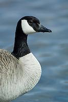 Canada Goose(Branta canadensis)