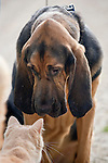 Gentle Gabriel Bloodhound