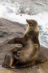 California Sea Lion (Zalophus californianus) mother nursing pup, La Jolla, San Diego, California