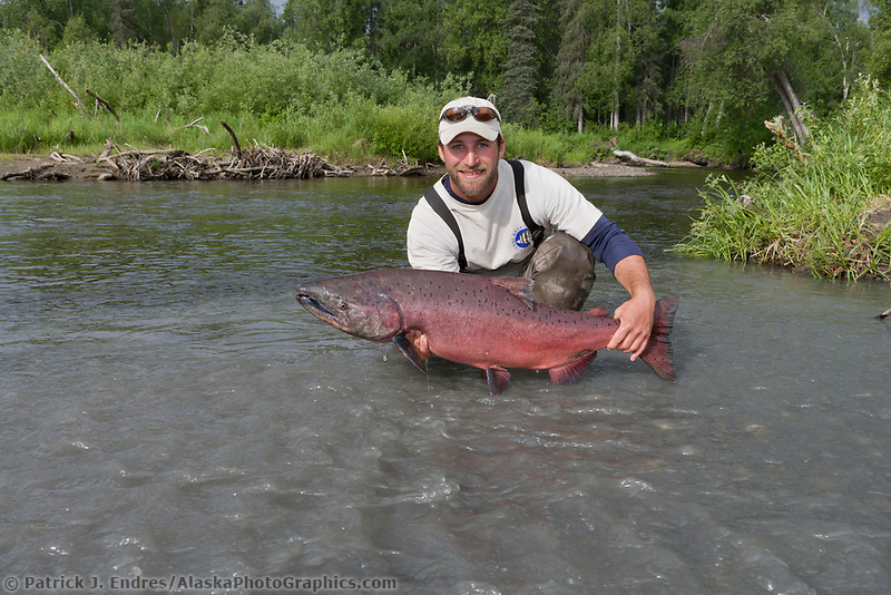 Fisherman holds a large king salmon caught on a fly rod in red creek, southcentral, Alaska.