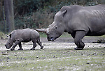 Foto: VidiPhoto<br /> <br /> ARNHEM – Alsof hij al tientallen jaren op de Safari van Burgers' Zoo in Arnhem rondloopt, zo gedroeg Rolf de pasgeboren breedlidneushoorn zich donderdag buiten. Het neushoornjong mocht donderdag kennismaken met zijn neven en nichten en de andere dieren op de Safarivlakte van de dierentuin. De nieuwkomer kreeg opmerkelijk weinig aandacht. Ze het namelijk gewend. Het is alweer het elfde neushoorntje dat sinds 1998 in het Arnhemse dierenpark op de vlakte rondstruint. Burgers' Zoo staat hiermee in de Europese top vijf van neushoornfokkers. Europa kent in totaal 90 dierenparken met breedlipneushoorns. Fokken met neushoorns is desondanks lastig. Lang niet alle volwassen mannetjes blijken vruchtbaar te zijn en daarnaast komt bij neushoornvrouwtjes ook regelmatig cystevorming in de baarmoederhoorns voor. Hierdoor kan het sperma de eicel niet meer bereiken, of kan de eicel niet loskomen uit de eierstok.