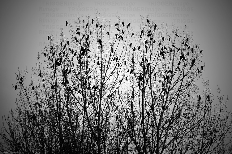 The surreal image of a flock of birds in the autumn branches of a treetop.
