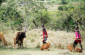 Lolgorian, Kenya. Smiling Maasai moran passing cows and calves carrying an umbrella and a radio.