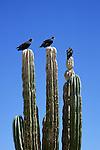 Turkey Vultures (Cathartes aura) perched atop a cardon cactus (Pachycereus pringlei), Baja California, Mexico