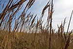 Close up of seed heads and stalks of tall reeds near the coast at Bawdsey, Suffolk, England, UK