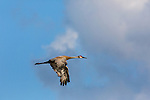 Sandhill crane flying