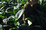 Fields of tobacco for Cuba's famous cigars