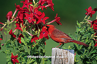 01530-14710 Northern Cardinal (Cardinalis cardinalis) male on fence post near Hummingbird Rose Pink Nicotiana (Nicotiana alata)  IL