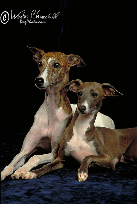 Italian Greyhound Shopping cart has 3 Tabs:<br /> <br /> 1) Rights-Managed downloads for Commercial Use<br /> <br /> 2) Print sizes from wallet to 20x30<br /> <br /> 3) Merchandise items like T-shirts and refrigerator magnets