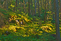 Black spruce trees and moss in the Boreal forest <br />