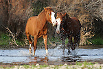 Coon Bluff-Tonto National Forest - Wild Horses