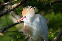 Cattle Egret.  Bubulcus Ibis