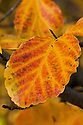 Yellow-orange autumn leaves of the Persian ironwood tree (Parrotia persica), early November.