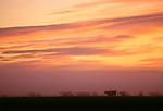Cattle, Flathead Mountain, Wyoming
