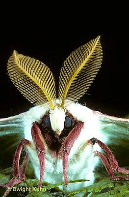 LE08-006b  Luna Moth -  close-up of head and antennae - Actias luna