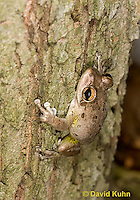 0201-0902  Cuban Treefrog (Cuban Tree Frog) on Tree, Osteopilus septentrionalis  © David Kuhn/Dwight Kuhn Photography