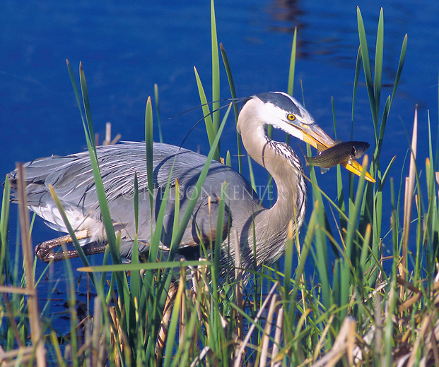 Great Blue Heron with fish in beak just caught in a pond in a Montana marsh