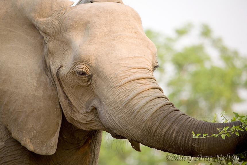African elephant (Loxodonta africana) South Luangwa National Park, Zambia.