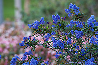 Ceanothus 'Concha' blue flowering shrub, California lilac, California native plant garden; Vincent Garden