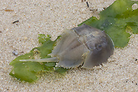 Cast shell of juvenile horseshoe crab, Limulus polyphemus, NJ, Delaware Bay