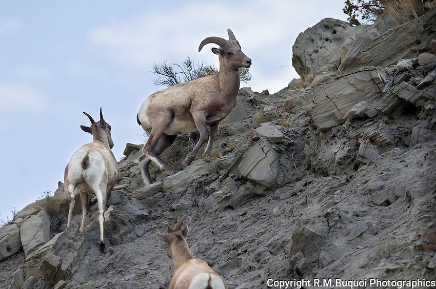 Bighorn Sheep cliff climbing in Yellowstone National Park