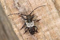 Doppeldorniger Wimperbock, Büschelflügelbock, Pogonocherus hispidulus, Greater Thorn-tipped Longhorn Beetle