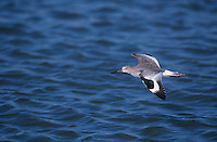 Willet, Catoptrophorus semipalmatus,adult in flight winter plumage, Sanibel Island, Florida, USA
