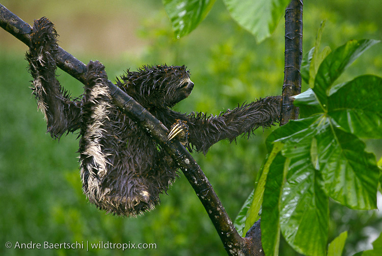 Brown-throated Three-toed Sloth (Bradypus variegatus) climbing on a Cecropia tree, attacked by Cecropia ants (Azteca sp.), lowland tropical rainforest, Tambopata National Reserve, Madre de Dios, Peru.