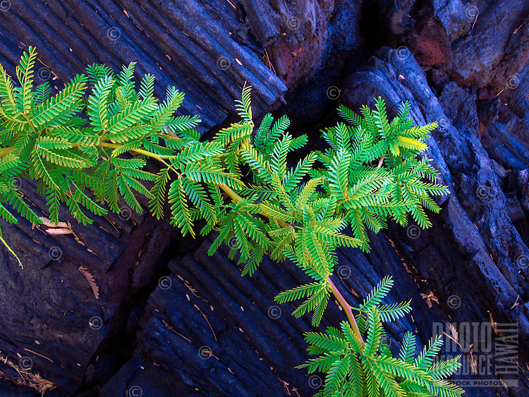 An intimate view of a kiawe tree branch and its green leaves against the details of lava rock, Kiholo Bay, Big Island.